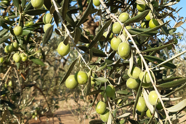 GROWING TREATMENTS FOR OLIVE TREES